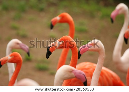 Group of flamingo
