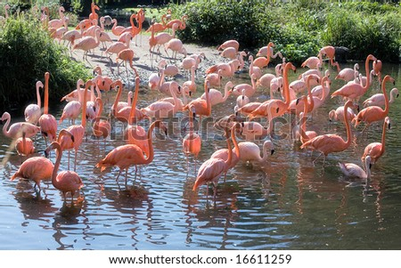 Group of flamingos fishing in the river - stock photo