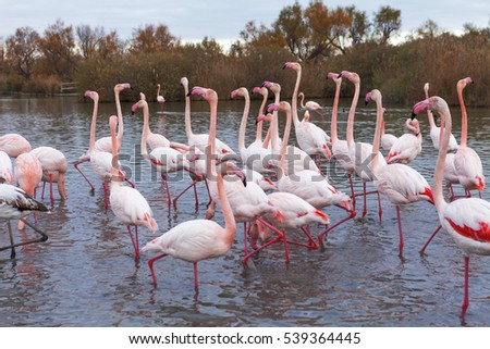group of flamingos in the south of france