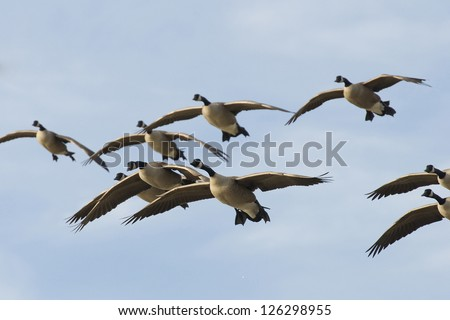 Group of flying geese - stock photo
