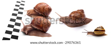 Group of four garden snails racing isolated on white background. - stock photo