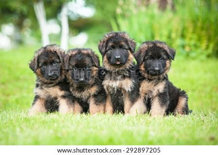 Group of four little german shepherd puppies - stock photo