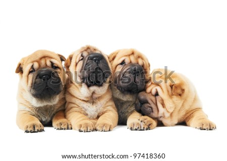 group of four purebred beige sharpei puppy dogs over white - stock photo