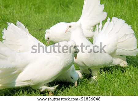 Group of four white fantails on a green meadow - stock photo