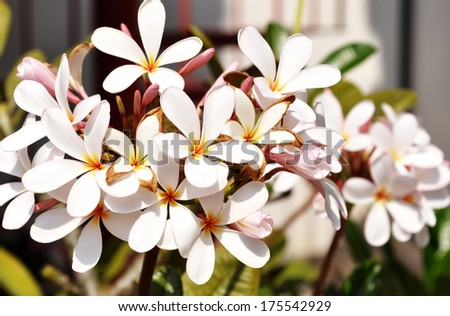 group of Frangipani flowers blooming - stock photo
