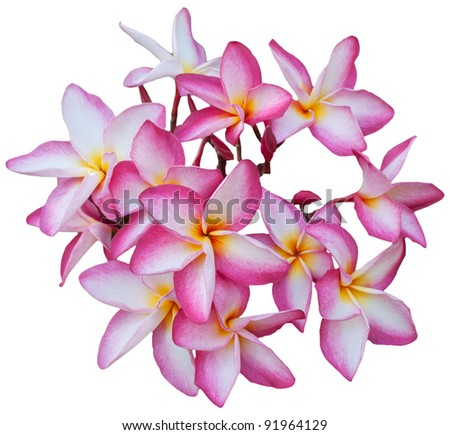 group of Frangipani flowers  blooming isolated on white - stock photo