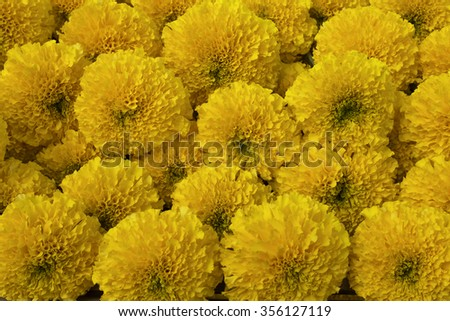 group of fresh marigold flower in close up view - stock photo