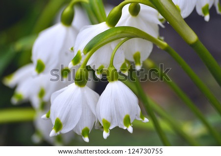 group of fresh snowdrop flowers - stock photo