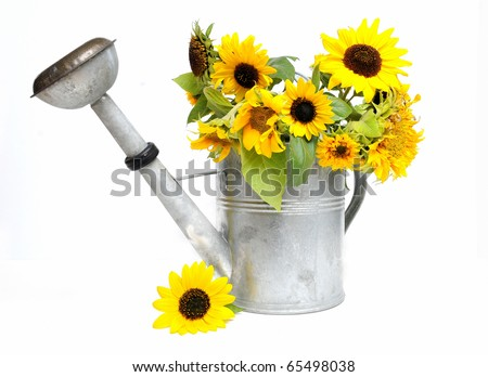Group of fresh sunflowers in a zinc watering can over white background - stock photo