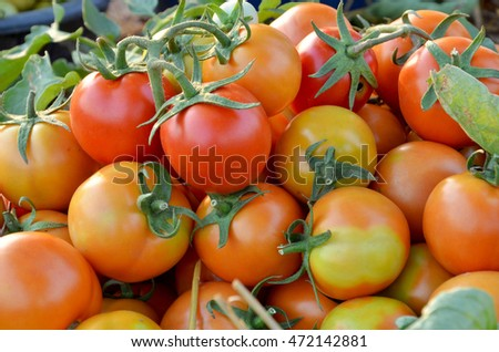 Group of fresh tomatoes in farm.