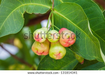 Group of fresh young rose apple on tree - stock photo