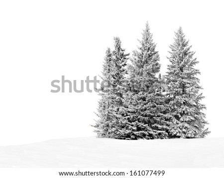 Group of frosty spruce trees in snow isolated on white        - stock photo