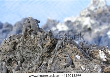 Group of Galapagos iguanas taking a sunbath on a rock. Two on the peak of the rock hug each other like buddies. - stock photo