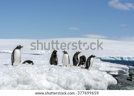 Group of Gentoo Penguin (Pygoscelis papua) - Greenwich Island in the South Shetland Islands - Antarctic - stock photo
