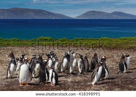 Group of gentoo penguins in the green grass. Gentoo penguins with blue sky with white clouds. Penguins in the nature habitat. Birds from Falkland Island. Penguin with beautiful landscape. - stock photo