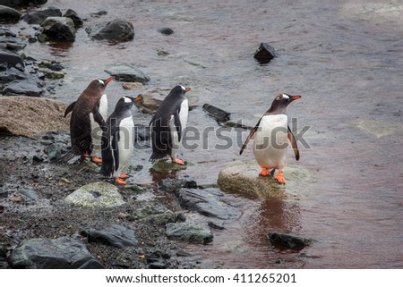 Group of Gentoo Penguins walking onto the beach, Antarctica - stock photo
