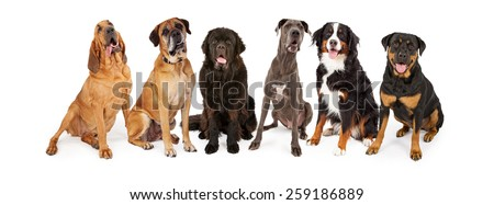 Group of giant breed dogs sitting in a row - stock photo