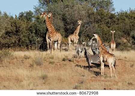 Group of giraffe (Giraffa camelopardalis) and  Plains Zebras (Equus quagga), South Africa - stock photo