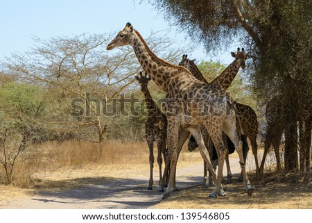 Group of giraffes in Africa