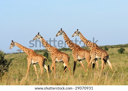 Group of giraffes in  the Masai Mara Reserve (Kenya) - stock photo