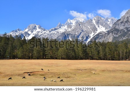 Group of Goats at Pine Forest on Mountain - stock photo