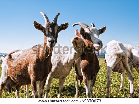 Group of Goats with one snuggling to an other one - stock photo