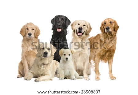 group of 6 golden retriever and labrador facing the camera in front of a white background - stock photo