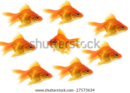 group of goldfish with one fish swimming the opposite way - stock photo