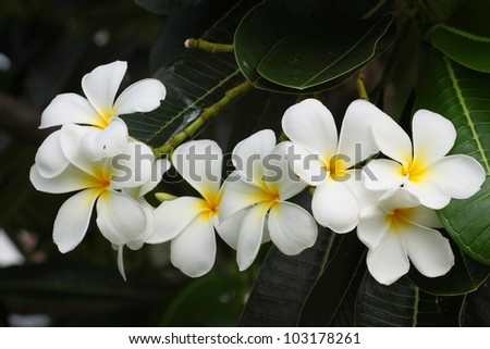 group of gorgeous frangipani flowers in the garden