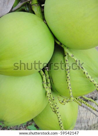 group of green coconut at tree