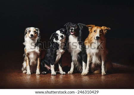 group of happy dogs border collies on black background - stock photo