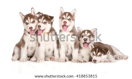 group of happy siberian husky puppies on white - stock photo