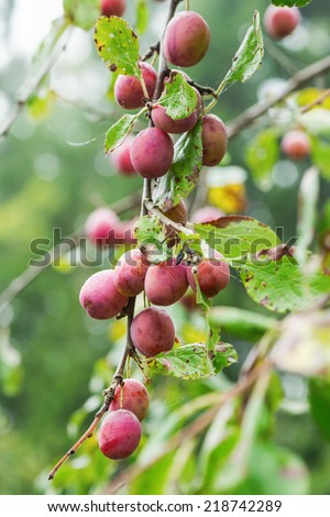 Group of healthy Victoria plums during autumn, Sweden - stock photo