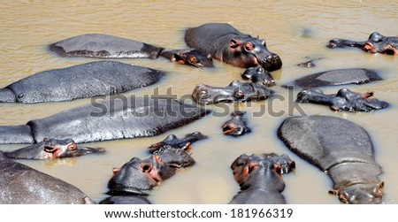 Group of hippopotamus (Hippopotamus amphibius) in water, southern Africa - stock photo