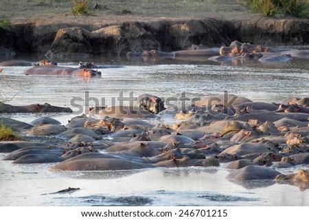 Group of hippos (Hippopotamus amphibius) resting in a pool in Serengeti National Park, Tanzania - stock photo
