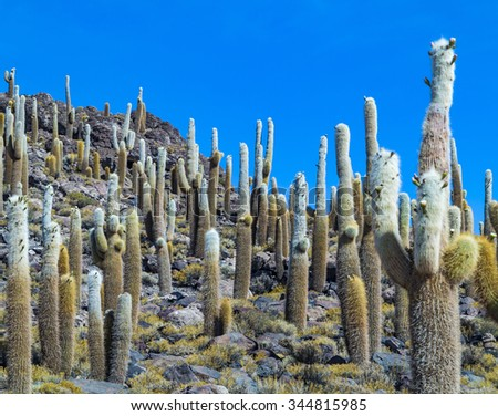 Group of Huge Trichoreus cactus standing on Isla Incahuasi (Isla del Pescado) in the middle of the world's biggest salt plain Salar de Uyuni, the Island is covered with cactus. Bolivia - stock photo