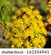 Group of insects and worker bees on a large cluster of small yellow flowers of aeonium undulatum and sharing the delicious nectar of pollen on its stamens, natural wildflowers of Canary islands - stock photo
