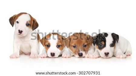 Group of Jack Russell terrier puppies on white background - stock photo