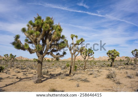 Group of joshua trees stand in the sands of the desert in the southern California. - stock photo