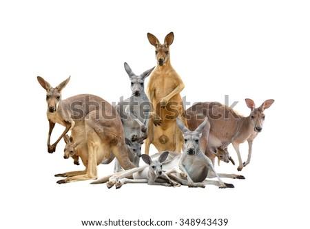 group of kangaroo isolated on white background - stock photo