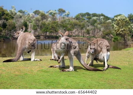 Group of kangaroos in Phillip Island Wildlife Park - stock photo