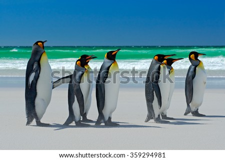 Group of King penguins, Aptenodytes patagonicus, going from white sand to sea, artic animals in the nature habitat, dark blue sky, Falkland Islands - stock photo