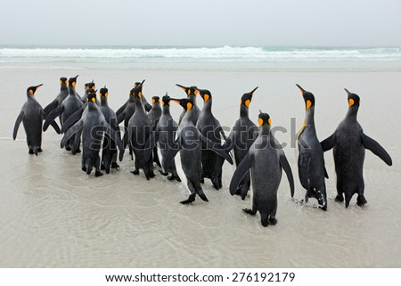 Group of king penguins coming back from sea tu beach with wave a blue sky - stock photo