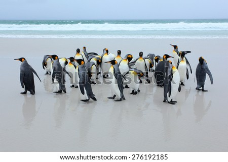 Group of king penguins coming back from the sea on white sand beach with wave a blue sky - stock photo