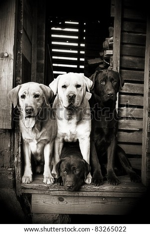 Group of Labradors - stock photo