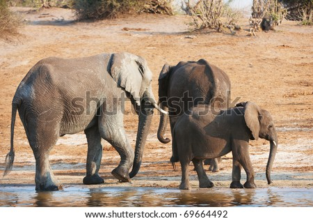 Group of Large and small African elephants (Loxodonta Africana) drinking water from the river in savanna in Botswana