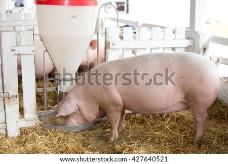 Group of large white swine (Yorkshire pigs) eating from plastic hog feeder on ranch - stock photo