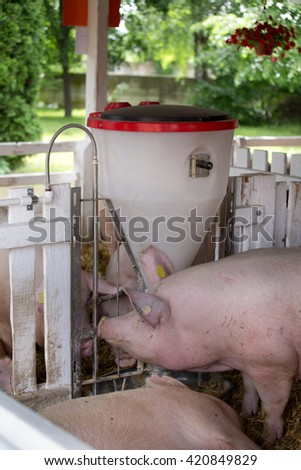 Group of large white swine (Yorkshire pigs) feeding from plastic hog feeder on ranch - stock photo