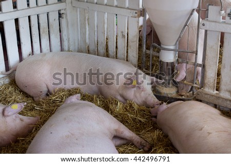 Group of large white swine (Yorkshire pigs) sleeping beside hog feeder on ranch - stock photo