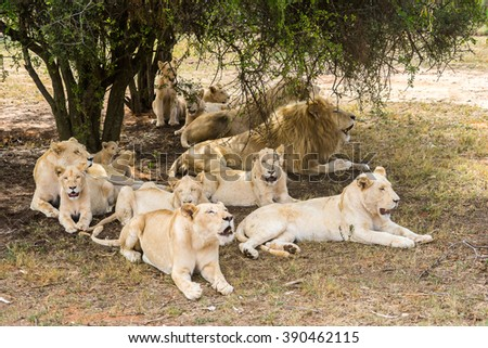 Group of lions, under the shade of the tree - stock photo